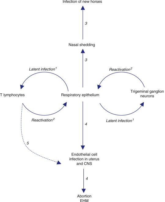 Lytic Cycle An Overview Sciencedirect Topics