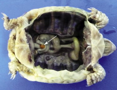 Trachemys scripta - an overview | ScienceDirect Topics