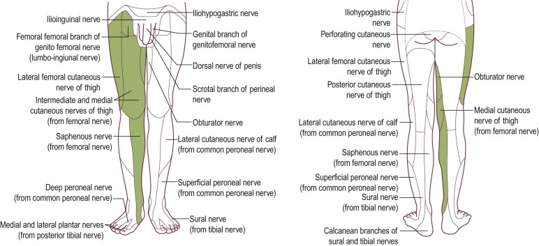 Lumbosacral Plexus - an overview | ScienceDirect Topics