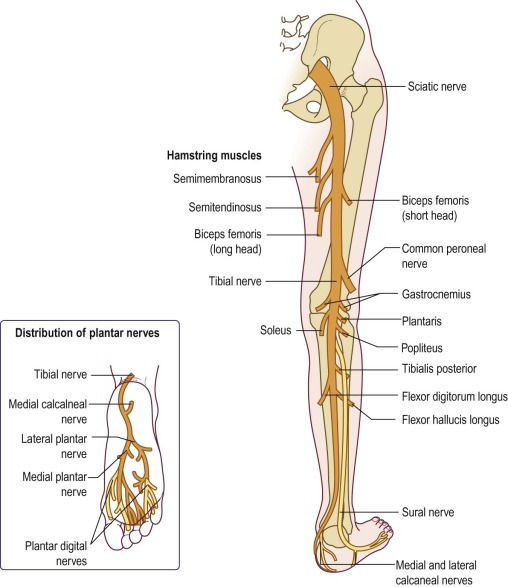 sciatic nerve an overview sciencedirect topics Plane Diagram of Lower Extremity Nerves