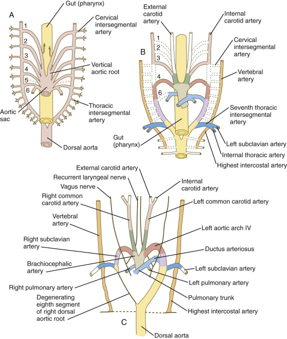 Dorsal Aorta An Overview Sciencedirect Topics