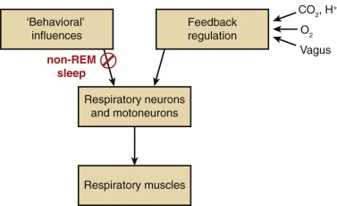 Respiratory Rhythm Generation An Overview Sciencedirect Topics