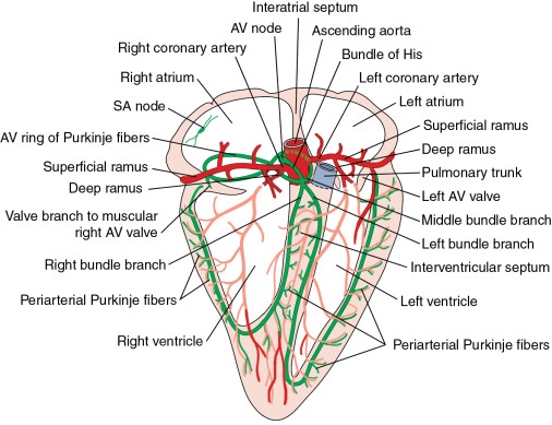 Conduction System Of Heart An Overview ScienceDirect Topics