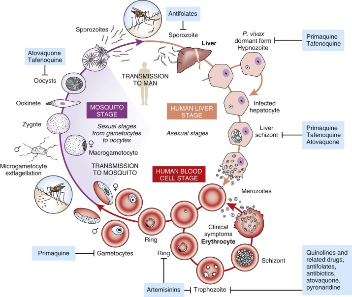 Antimalarial Agent - an overview | ScienceDirect Topics