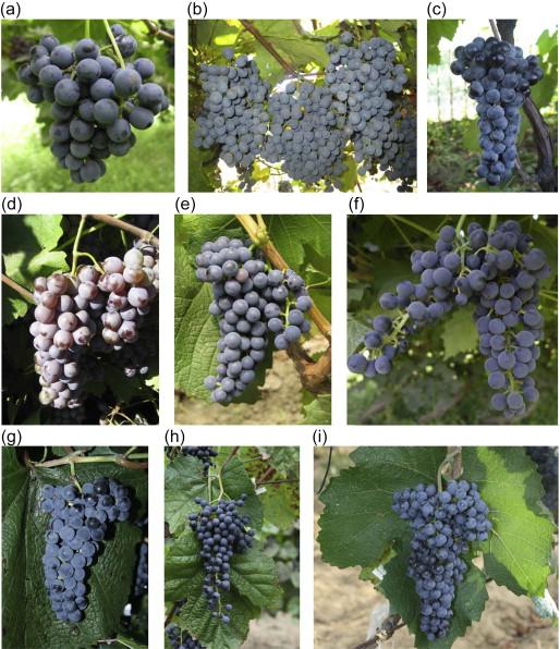 7e846377e17 Wild Grape - an overview | ScienceDirect Topics