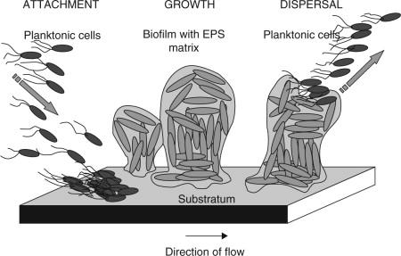 Biofilm formation by food spoilage microorganisms in food processing