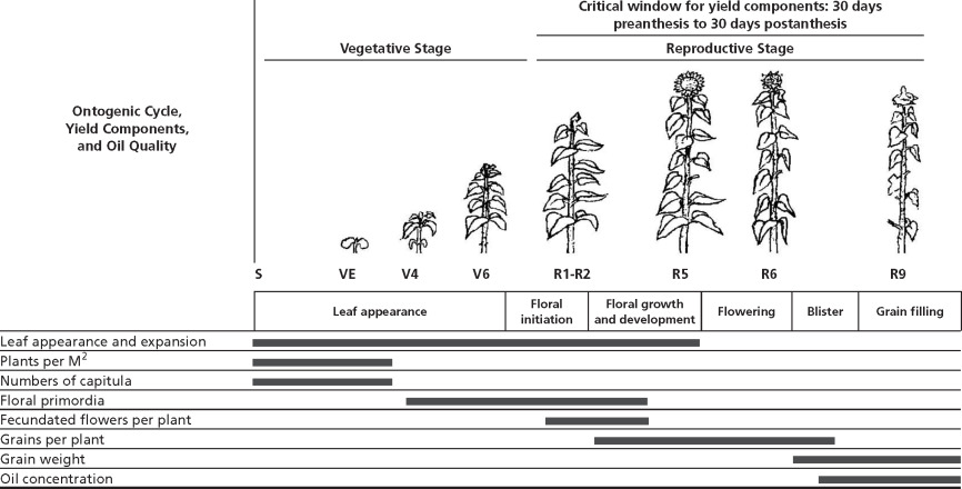Sunflower Crop Physiology And Agronomy Sciencedirect