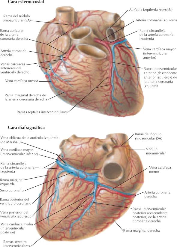 Vistoso Anatomía Circulación Coronaria Bandera - Imágenes de ...
