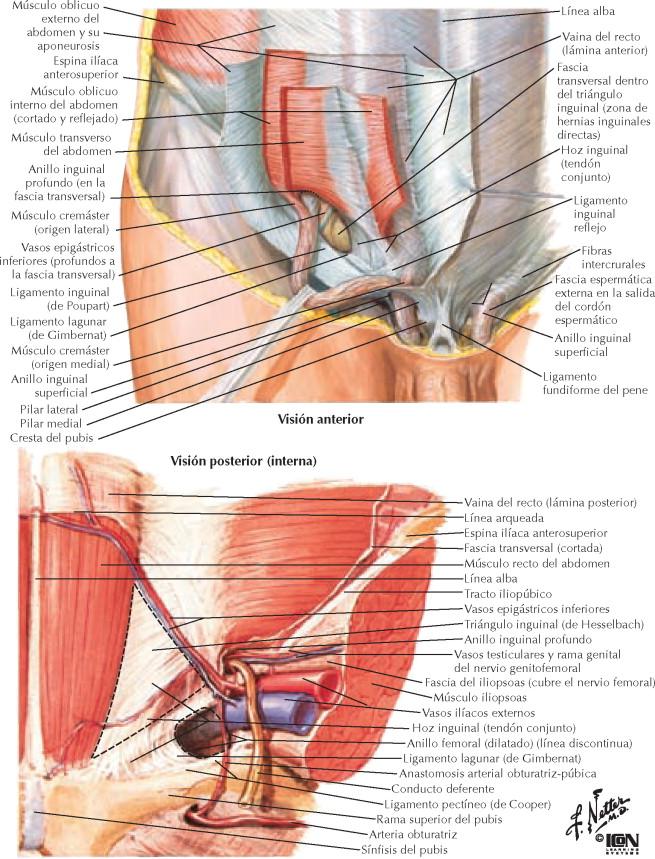 Famoso Anatomía Del Nervio Inguinal Modelo - Imágenes de Anatomía ...