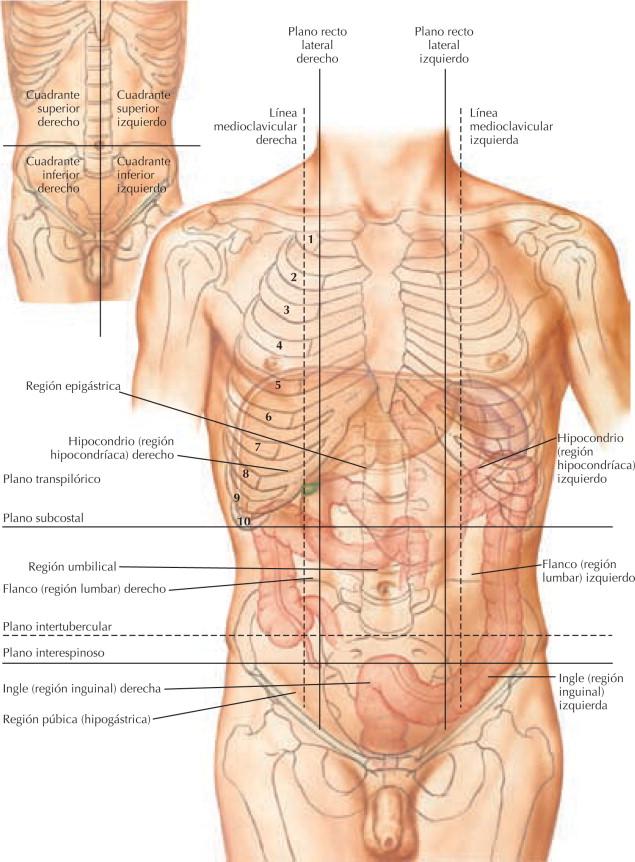 Excelente Derecho Anatomía Cuadrante Superior Ornamento - Imágenes ...