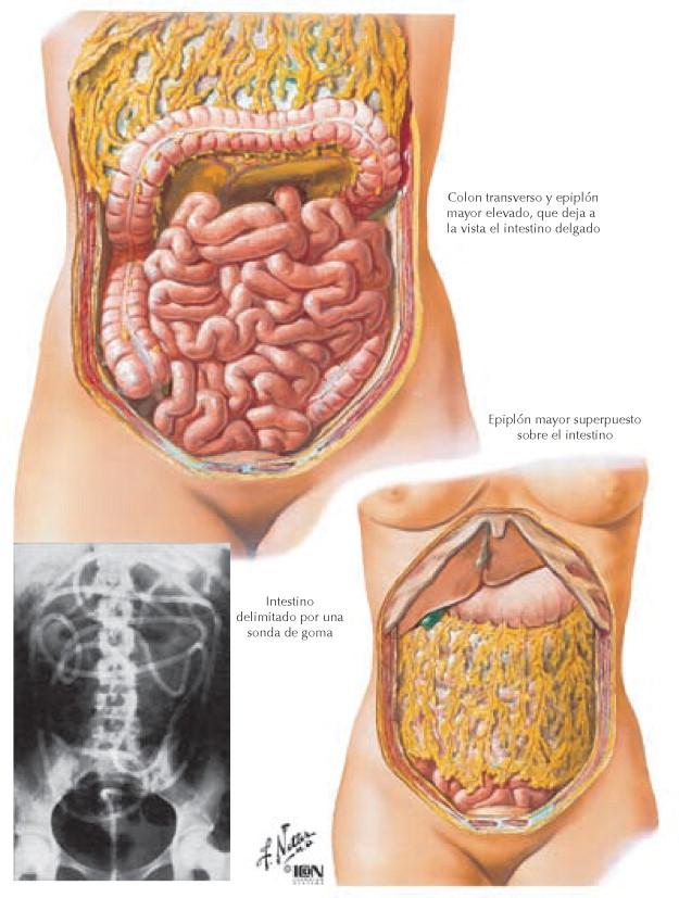 Topografía del intestino delgado - Netter. Gastroenterología ...