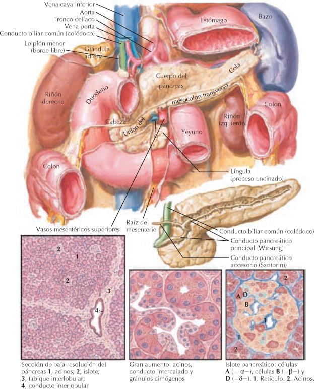 Magnífico Anatomía Conducto Biliar Molde - Imágenes de Anatomía ...