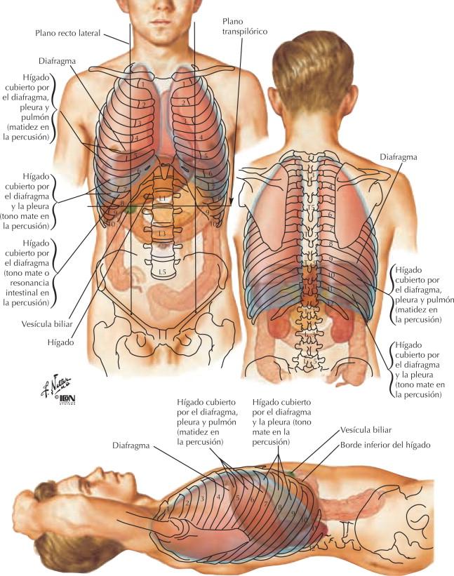 Anatomía topográfica del hígado - Netter. Gastroenterología ...